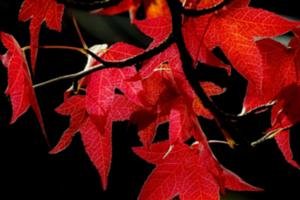 red leaf 300x200